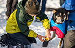 Kellogg Field School student puts a booty on a retired sled dog.